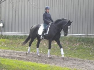 Horses For Sale Fei Dressage Hunter Jumper Equitation